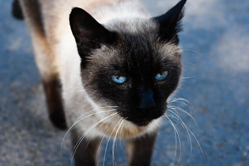 Black and White Cat With Blue Eyes