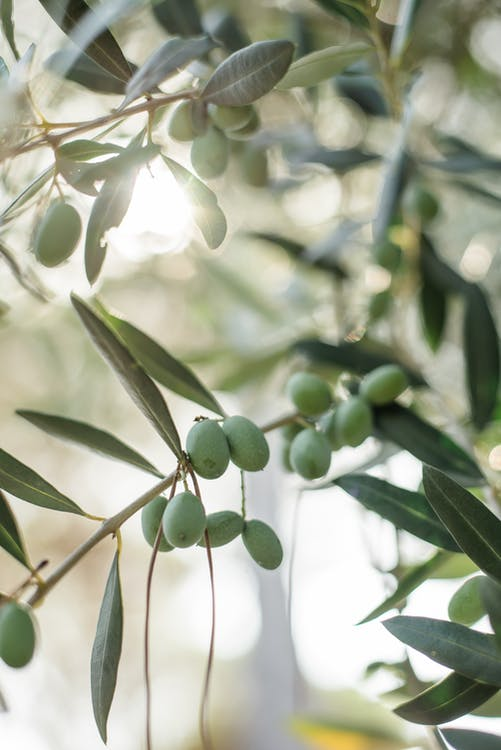 Green olives growing on olive tree twig on blurred garden background during sunny summer day