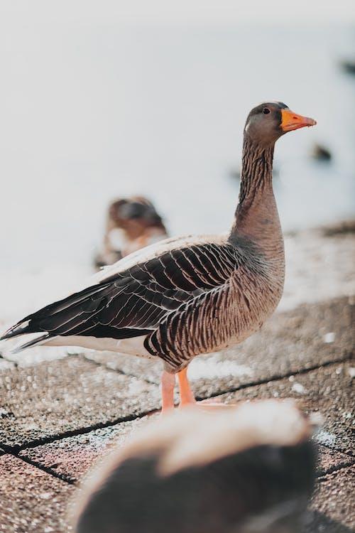動物, 喙, 家禽, 戶外 的 免費圖庫相片