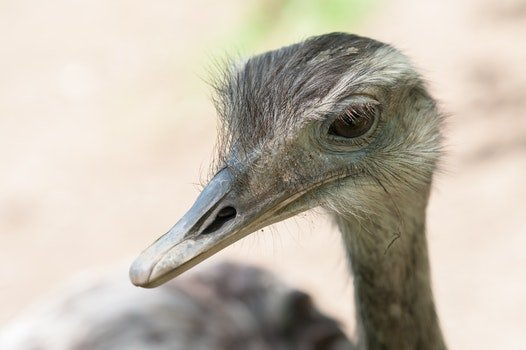 Free stock photo of beak, ostrich, nandu, aminal