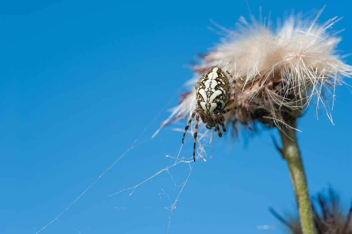 Macro Photo of White and Brown Barn Spider on White Dandelion