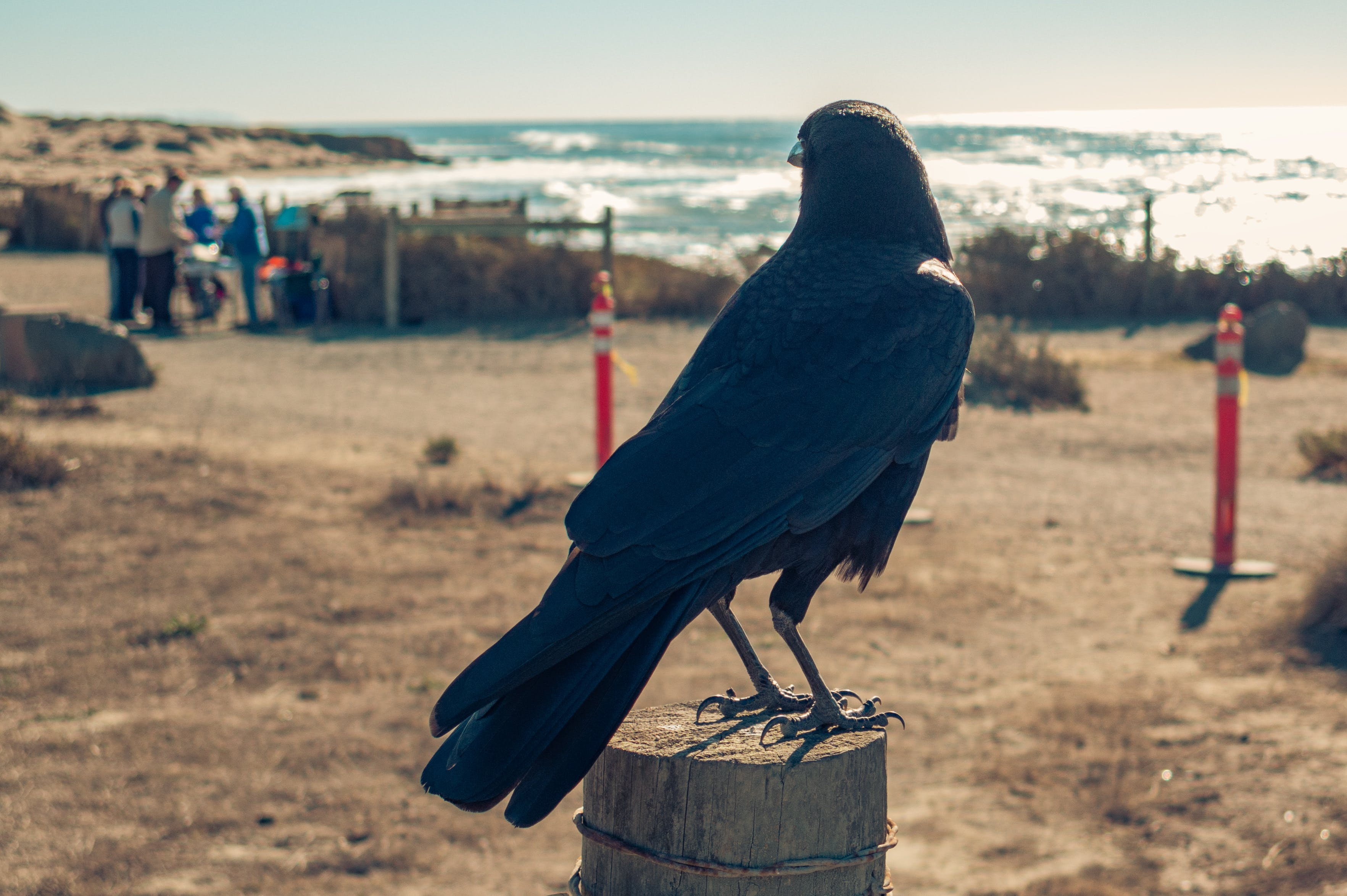 American Crow Perching on Brown Wooden Post