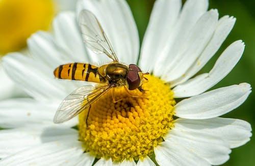 Fotos de stock gratuitas de abeja, al aire libre, ampliación, animal