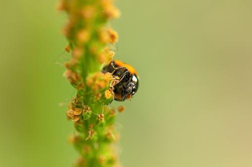 Mariquita Negra Y Naranja Encaramado Sobre Flor Amarilla En Fotografía De Primer Plano