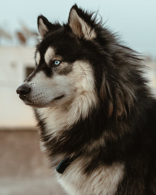 Black and White Siberian Husky