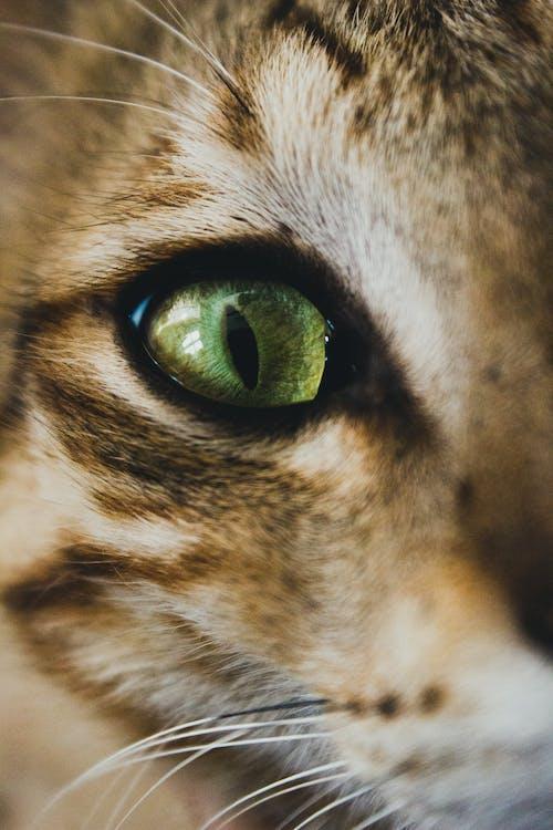 Closeup shiny green eye and whisker of cute playful tabby cat looking at camera