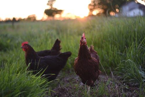 Hens on meadow in farmland