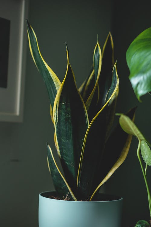 Plant with green spiky leaves with yellow ornament on edges growing in pot in flat