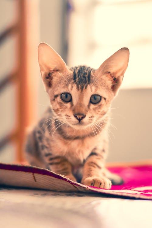 Free stock photo of big cat, calico cat, cat, hello kitty