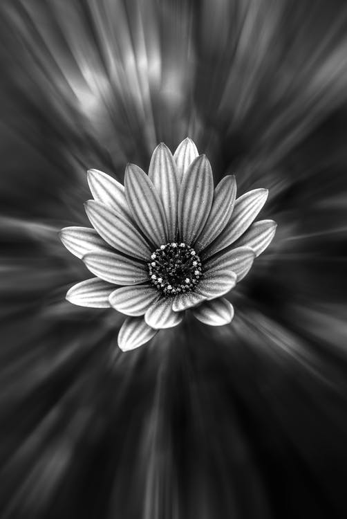 černobílý, květ, kytka