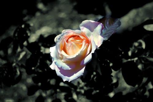 Free stock photo of flower, magic, Magick, magickal