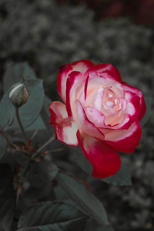 盛开的鲜花, 粉紅玫瑰, 美丽的花, 花 的 免费素材图片