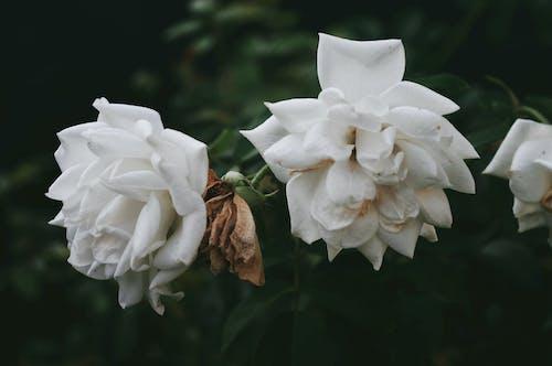 玫瑰, 白玫瑰, 美丽的花, 美麗的花朵 的 免费素材图片