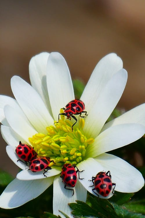 Ladybugs on white blooming flower in nature