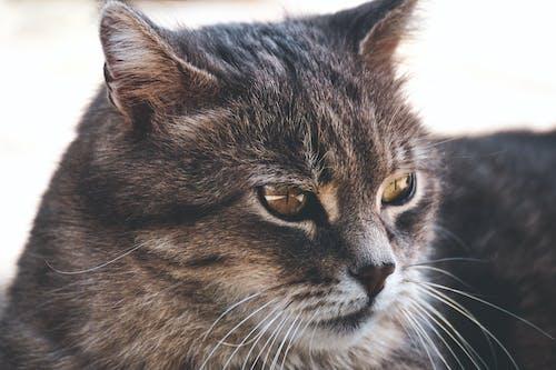 Gratis stockfoto met beest, dier, gestreepte kat, grijs