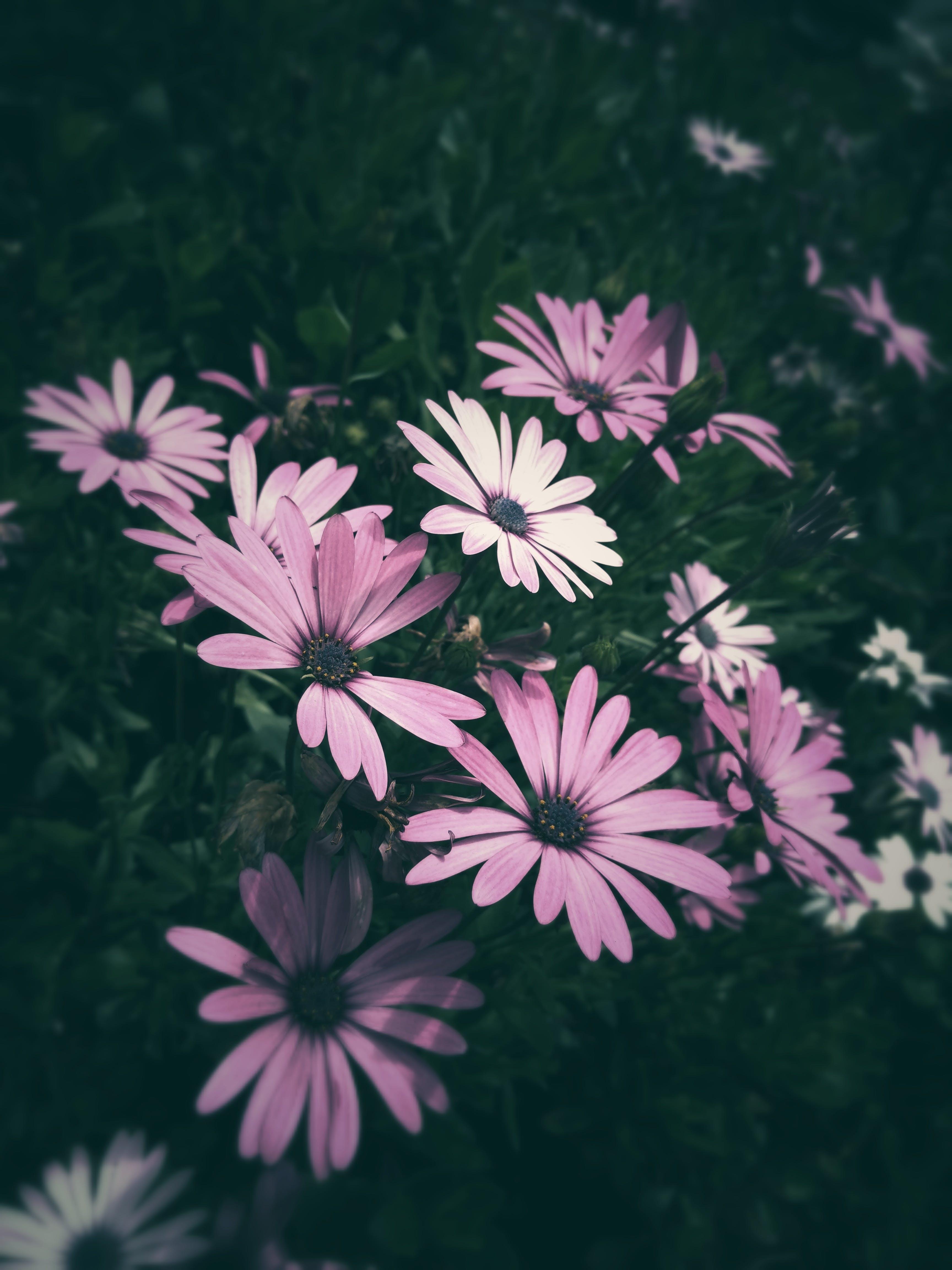 Purple Petaled Flowers Close-up Photo