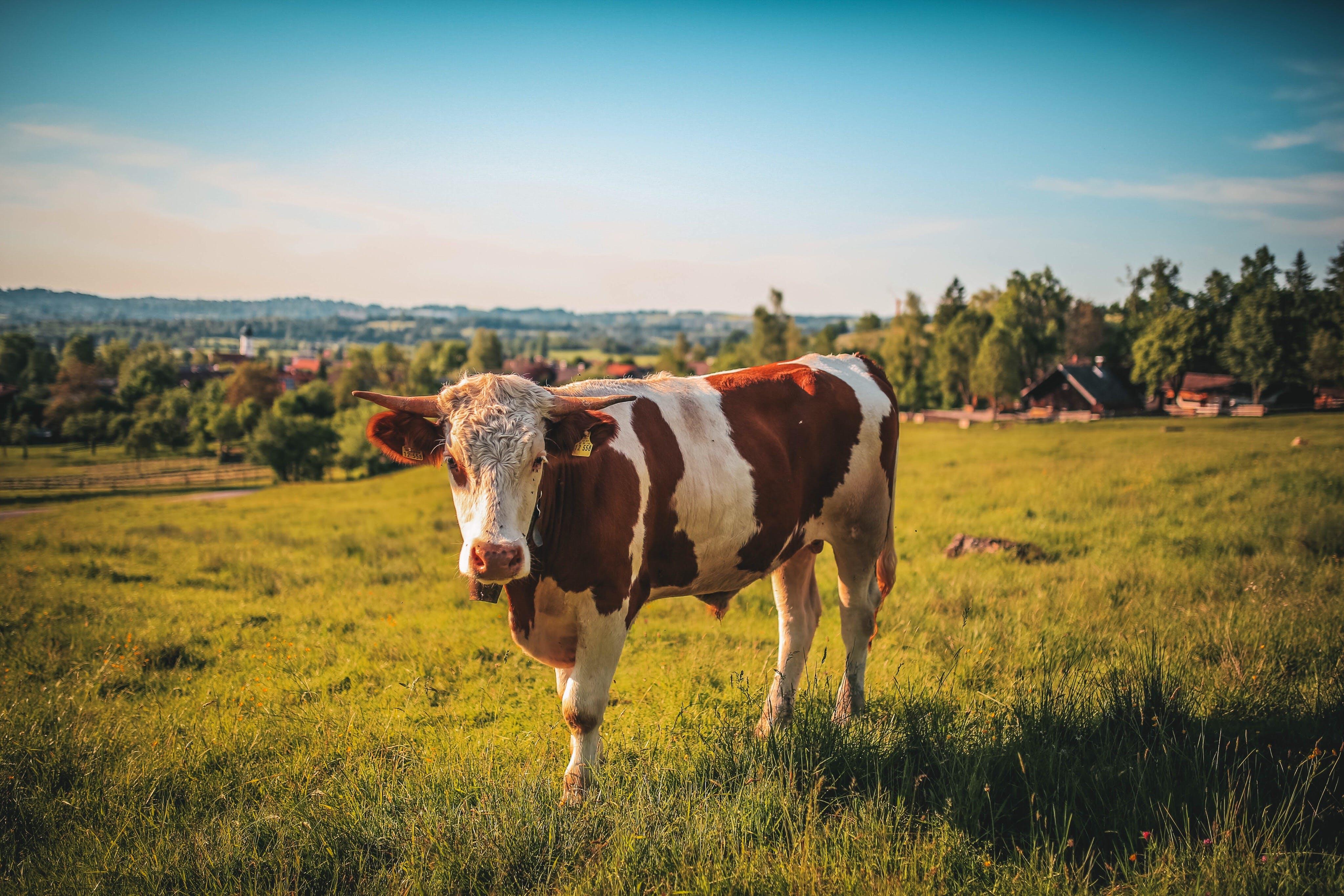 agriculture, animal, bull