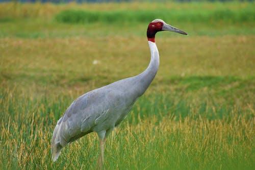 Graceful Antigone bird standing on grassy field