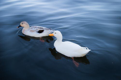 Adorable ducks floating in lake on sunny day