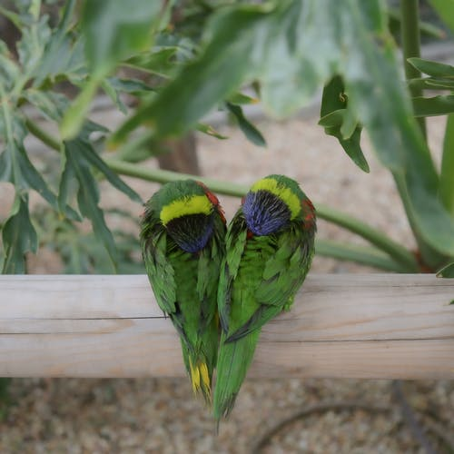 Adorable Trichoglossus haematodus parrots with multicolored plumage plucking feather