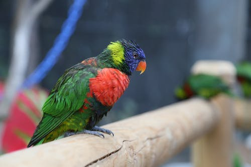 Multicolored Trichoglossus forsteni parrot on wooden fence