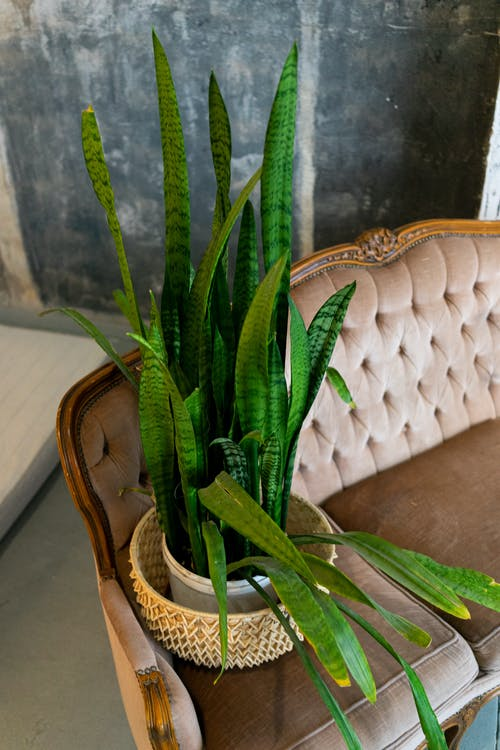 From above of exotic green snake plant growing in pot placed on elegant retro sofa in stylish living room