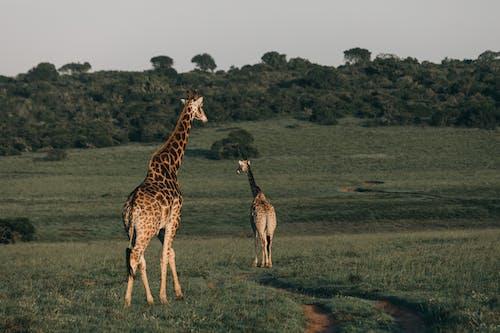 Brown Giraffe on Green Grass Field