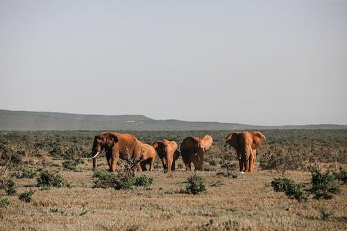 Elephants walking on dry terrain