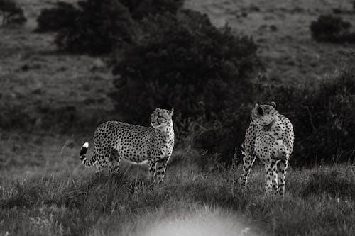 Leopards walking in savanna in nature