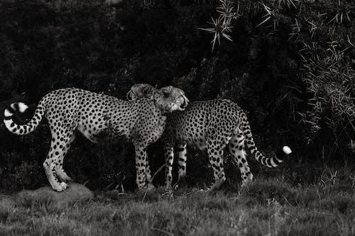 Asiatic cheetahs on grass under foliage