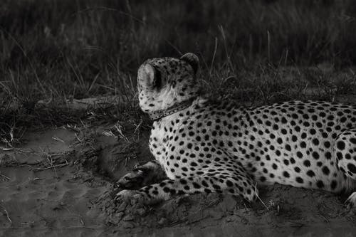 Asiatic cheetah resting on grass in daytime