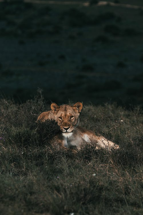 Panthera leo chilling in meadow in daytime