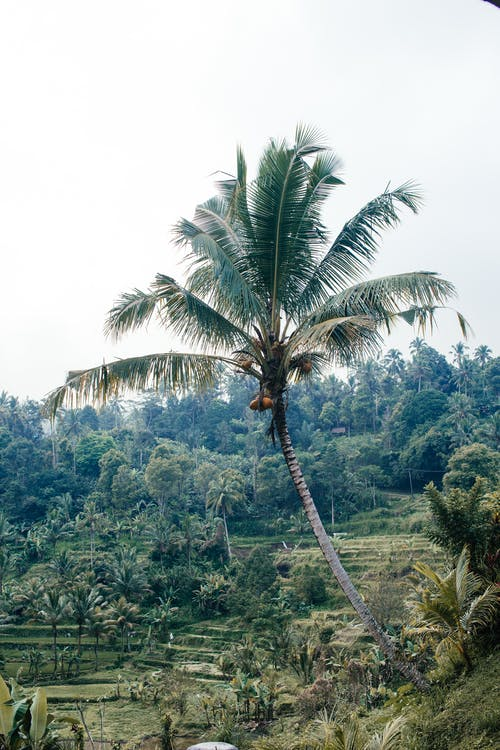Tall palm and rice paddies in valley