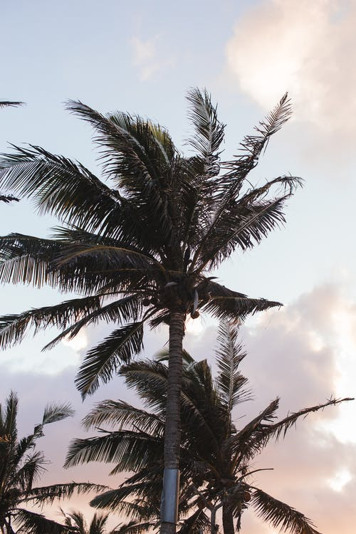 Tall palms under light pink sky at sunset