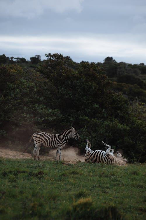 Zebras having fun on grass lawn against greenery trees under cloudy sky in savanna