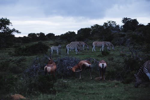Herd of zebras with antelopes feeding on meadow