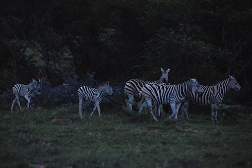 Zebras strolling on grass lawn near lush greenery trees in savanna in evening