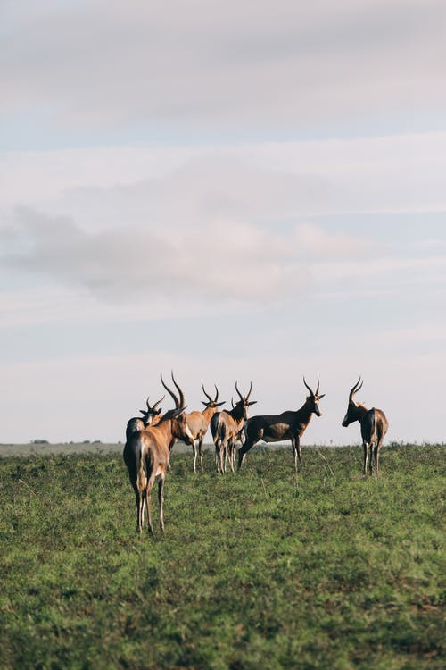 Antelopes on grass meadow under cloudy sky