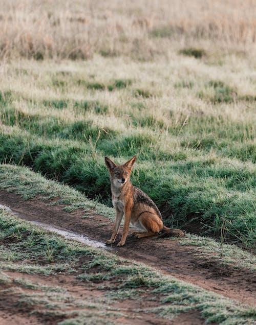 Jackal resting on pathway near grass in savanna