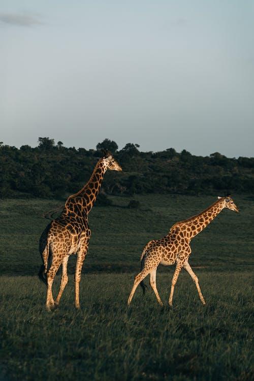 Two Giraffes on Grassland