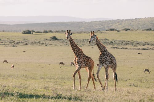 Giraffes with ornamental coat strolling on meadow against greenery mounts and antelopes grazing on summer day