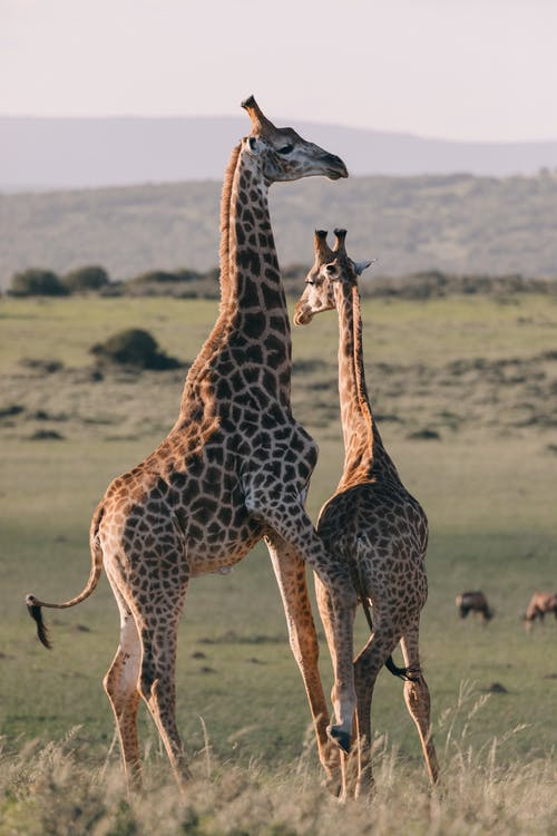 Wild giraffes with ornamental coat having fun on green meadow against ridges in savannah