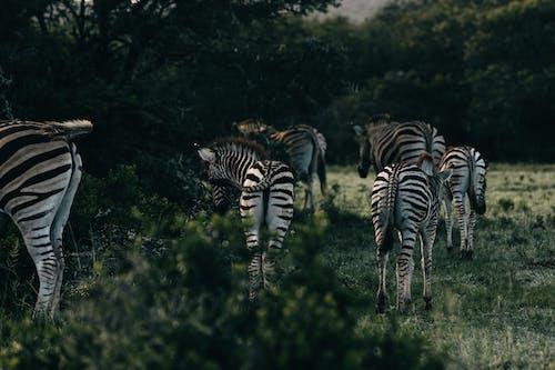 Herd of zebras with striped ornament on coat strolling in greenery savanna in twilight