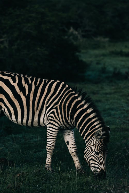 Zebra with striped ornament on coat eating grass on meadow in savanna in daylight