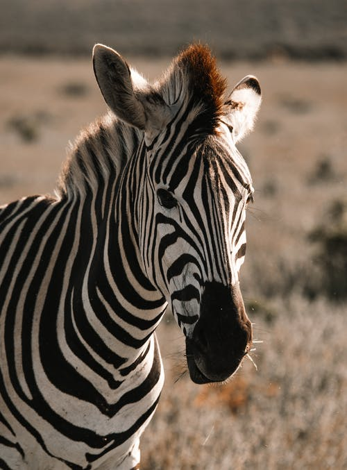Muzzle of zebra with striped coat standing on meadow in savanna in shiny sunlight in back lit