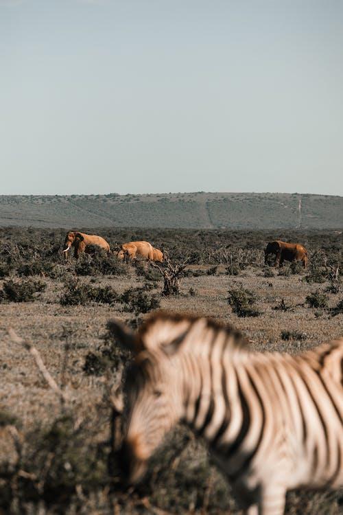 Blurred zebra near elephant feeding on green meadow against mountain on summer day