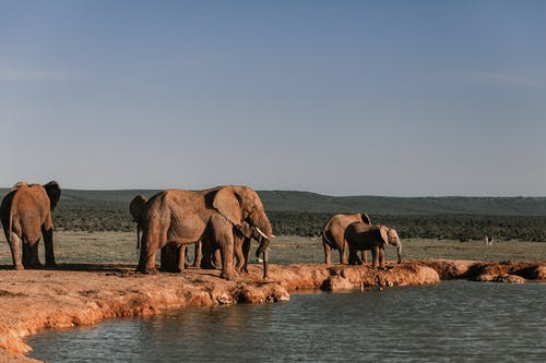 Herd of elephants with long trunks standing on dry land near rippled pond with ridge behind in summer