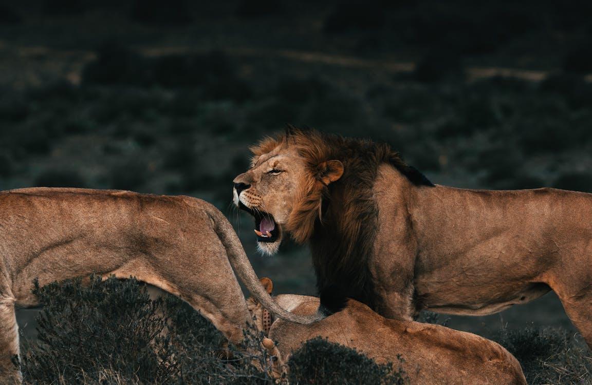 Roaring lion near lionesses on grass in savanna