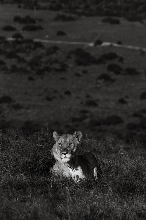 Black and white of lioness with dreamy gaze looking away while lying on hill in savannah