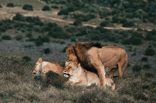 Lion playing with lioness on meadow in savannah